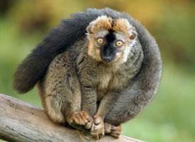 Lemur rudočelý