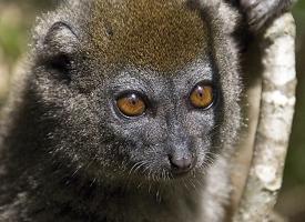 Lemur šedý