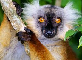 Lemur tmavý černý