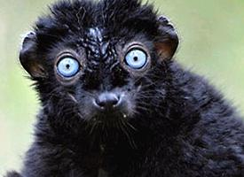Lemur tmavý Sclaterův