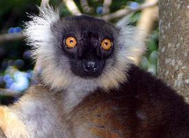 Lemur tmavý