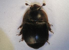 Lesknáček úlový
