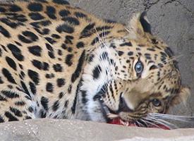 Levhart mandžuský