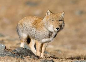 Liška horská