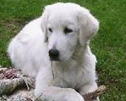 Maremmansko-abruzský pastevecký pes