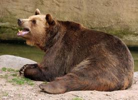 Medvěd brtnik
