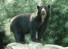 Medvěd brýlatý