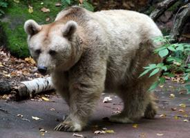Medvěd syrský