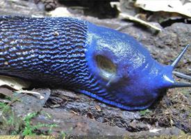 Modranka karpatská