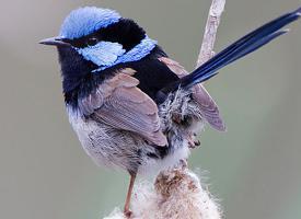 Modropláštník nádherný