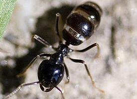 Mravenec černolesklý
