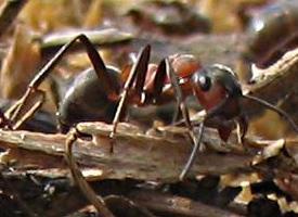 Mravenec lesní menší
