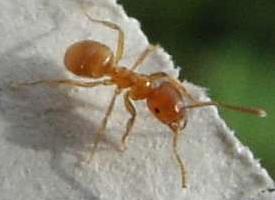 Mravenec žlutý