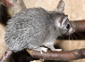 Myš bodlinatá