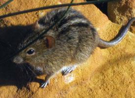 Myš čtyřpruhá