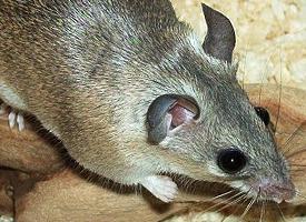 Myš kilikijská