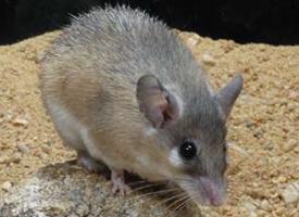 Myš krétská