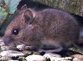 Myšice křovinná