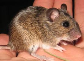 Myšice malooká