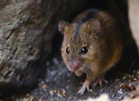 Myšice temnopásá