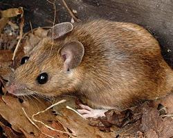 Myšice