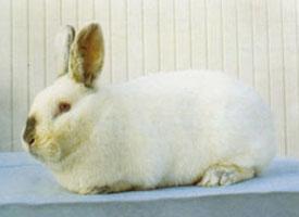 Nitranský králík