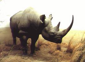 Nosorožec dvourohý severozápadní