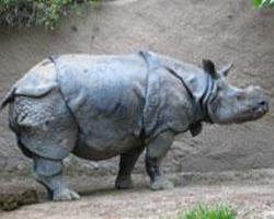Nosorožec jávský