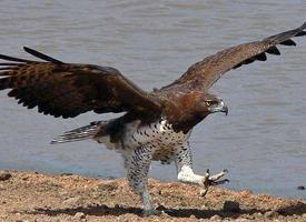 Orel bojovný