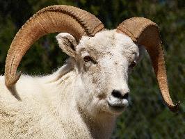 Ovce aljašská