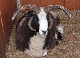 Ovce Jákobova