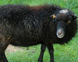 Ovce ouessantská