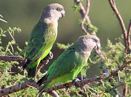 Papoušek hnědohlavý