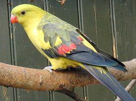 Papoušek horský kouřový