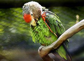 Papoušek kapský západní