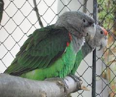 Papoušek kapský
