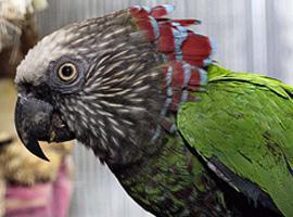 Papoušek vějířový