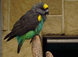 Papoušek žlutotemenný