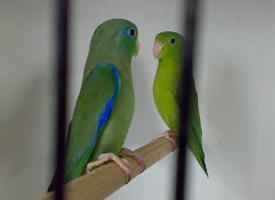 Papoušíček brýlatý