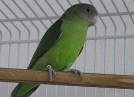 Papoušík šedohlavý