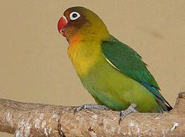 Papoušík škraboškový