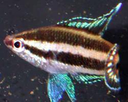 Parosphromenus bintan