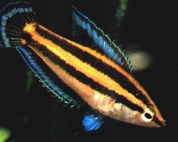 Parosphromenus nagyi