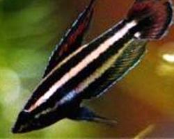 Parosphromenus parvulus