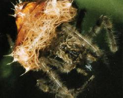 Pavouk bolasový