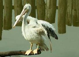 Pelikán rudohřbetý