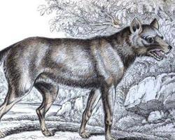 Pes šedý