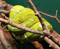 Psohlavec zelený
