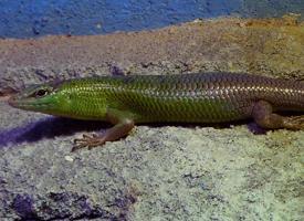 Scink smaragdový