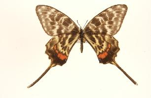 Sericinus montela